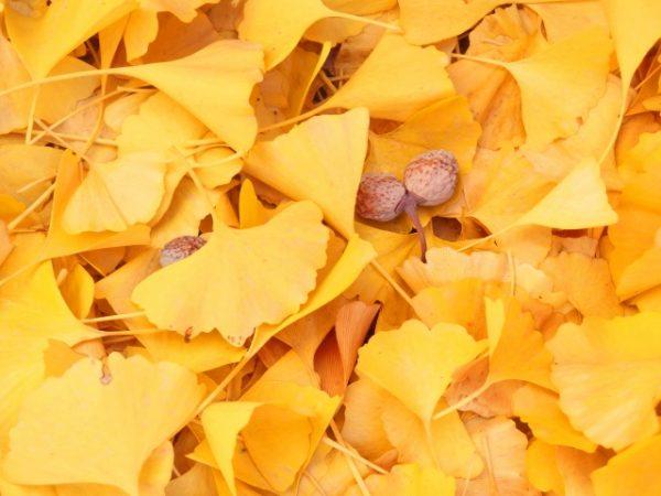 イチョウ並木の銀杏
